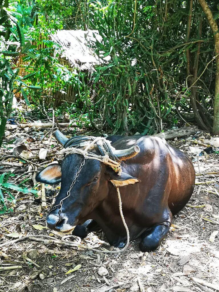 Cubansk landsbygd.Tilbake 200 år