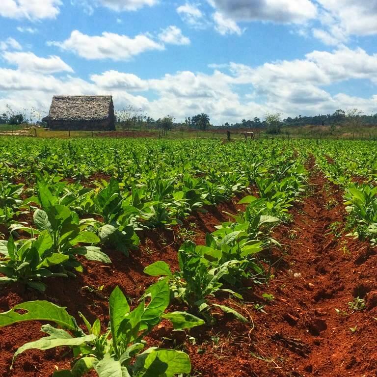 Besøk en tobakksgård